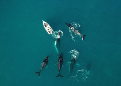 aerial view of boat with humpback whales in hervey bay