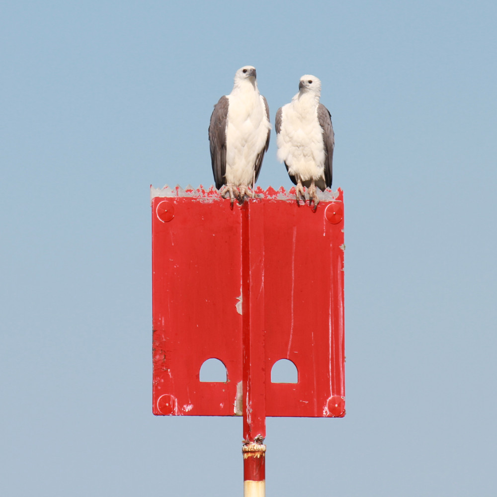 sea eagles perched on marker