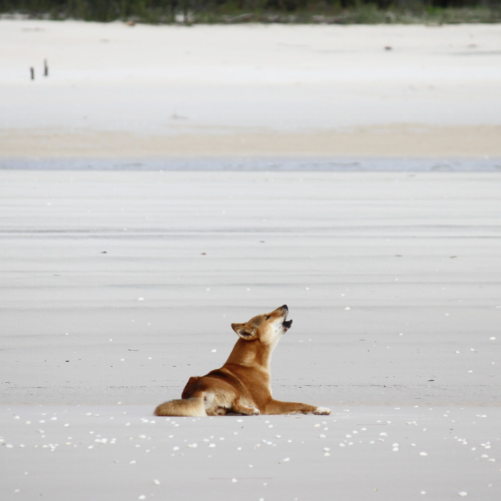 photo of dingo howling on Fraser Island beach taken during a fishing charter in Hervey Bay